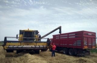 Edirne'de buğday veriminde geçen yıla göre ciddi...