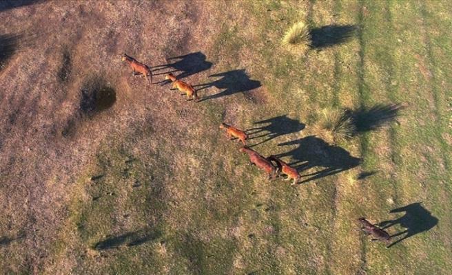 Kızılırmak Deltası'ndaki Yılkı Atları Büyülüyor
